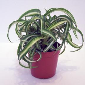 Araignées (Chlorophytum) Bonnie