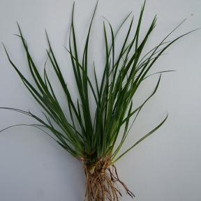 acorus-gramineus-vert