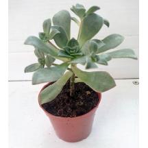 plante intérieure succulente Aeonium