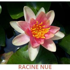Nénuphar changeable racine nue