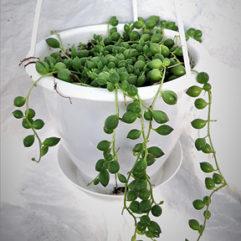 Panier suspendu plante